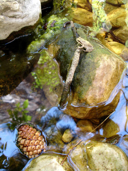 Pacific Treefrog with a reflection of the South side of Lower Bridge Mountain in water.<br>