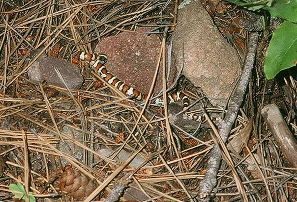 Jason Haas and I found this tiny Milk Snake/King Snake out to me on the way down from Tiny Tower in the Flatirons of Boulder, CO. He is coiled to strike but is not much of a threat, being the size of a pencil!