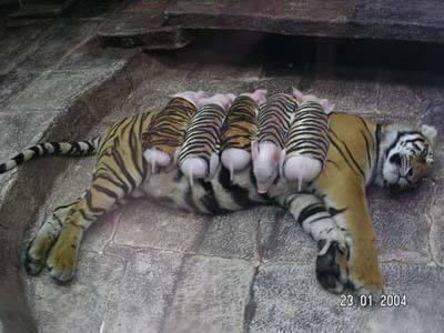 Tiger & piggies 2