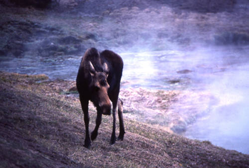 Moose.<br> Photo by Blitzo.