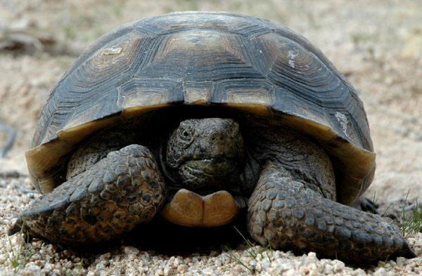 Desert Tortoise.<br> Photo by Blitzo.