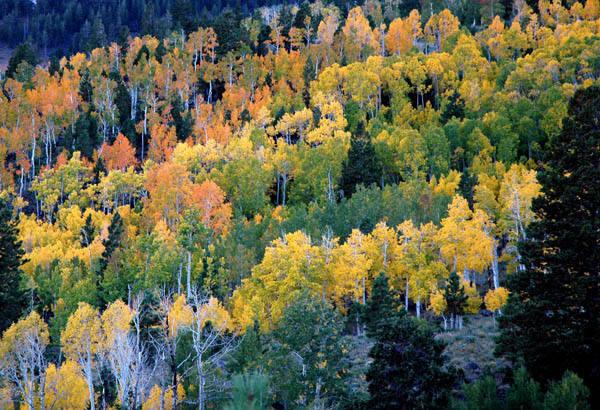 Aspens-Autumn.<br> Photo by Blitzo.