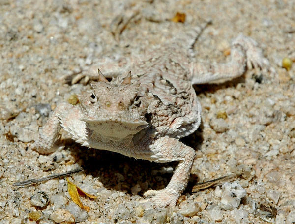 Horny Toad.<br> Photo by Blitzo.