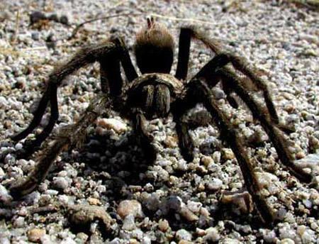 Tarantula.<br> Photo by Blitzo.
