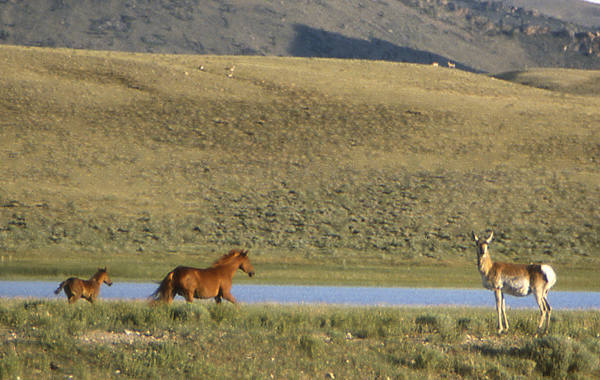 Horses and Pronghorn.<br> Photo by Blitzo.