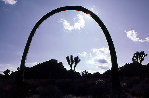 This arching joshua tree used to stand near the Peyote Cracks in the 1970s.<br> It is now gone.<br> Photo by Blitzo.