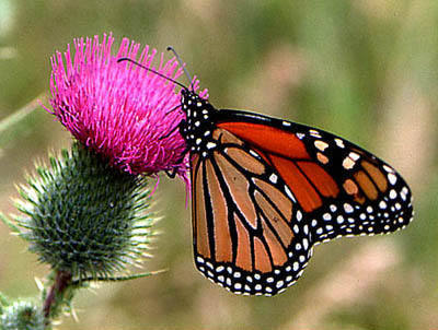 Monarch butterfly on thistle.<br> Photo by Blitzo.