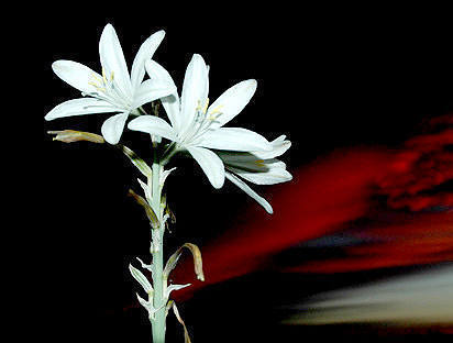 Desert Lily at sunset.<br> Photo by Blitzo.