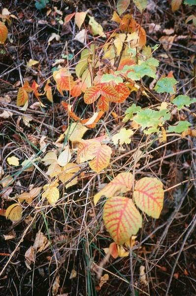 Watch out for even the pretty leaves in the back-canyons of the Flatirons in the fall.  At least the Poison Ivy is pretty in September! Photo in Skunk Canyon by T. Bubb, 10/06.