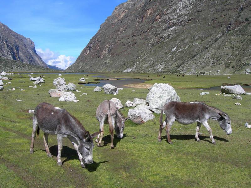 Burros in Parque Nacional Huascaran, Cordillera Blanca, Peru.