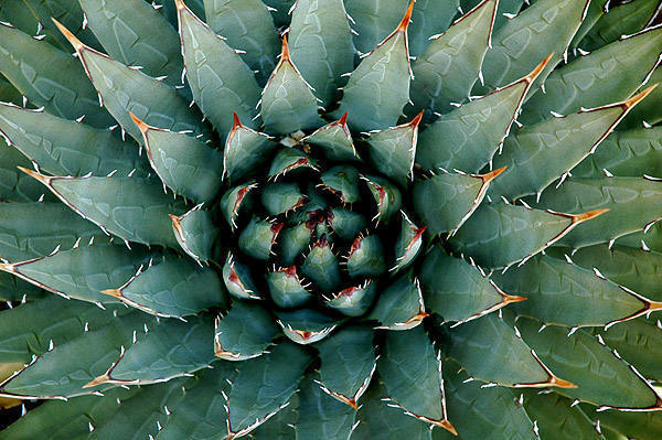 Agave.<br> Photo by Blitzo.