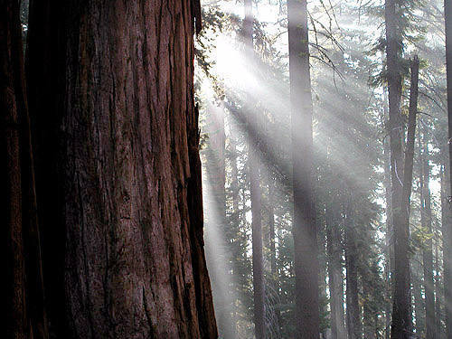 Sequoia Forest-Sequoia N.P.<br> Photo by Blitzo.