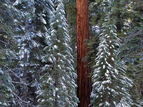 Forest-Sequoia N.P.<br> Photo by Blitzo.