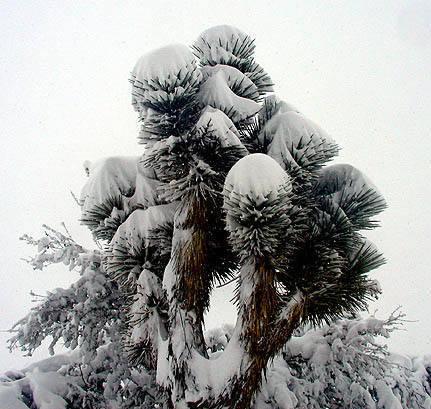 Joshua Tree-snow.<br> Photo by Blitzo.