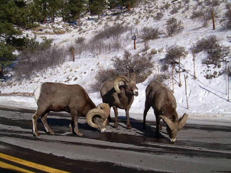 December seems to be a good month for seeing these up close on US 34 approaching RMNP.  They seem to like the salt.  Herds of up to 40 show up.