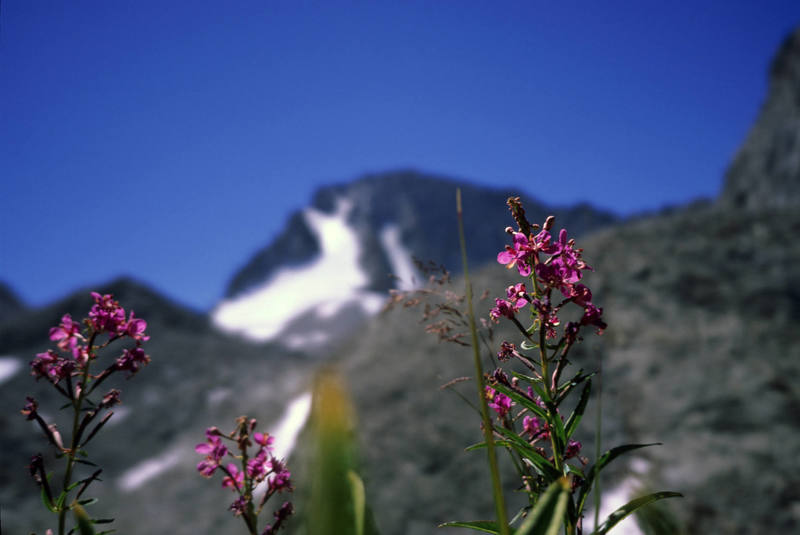 Flowers in the Darwin Canyon. Mt. Darwin and the North Glacier in the background.