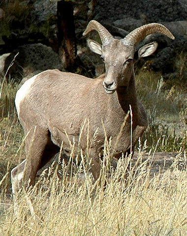 Young Bighorn-Big Thompson Canyon.<br> <br> Photo by Blitzo.
