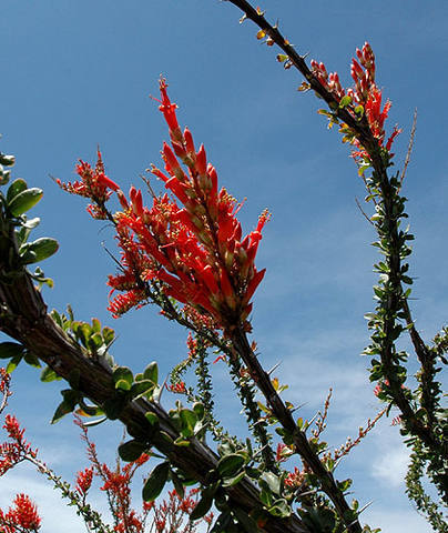 Ocotillo-Sonoran Desert.<br> Photo by Blitzo.