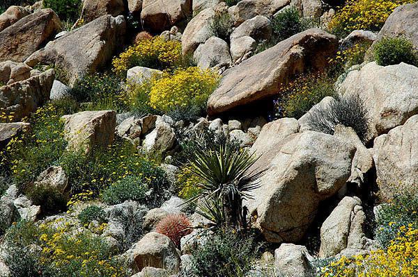 Desert rock garden-Indian Cove.<br> Photo by Blitzo.