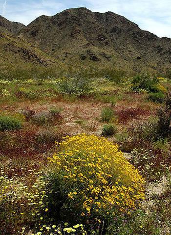 Pinto Basin-Spring.<br> Photo by Blitzo.