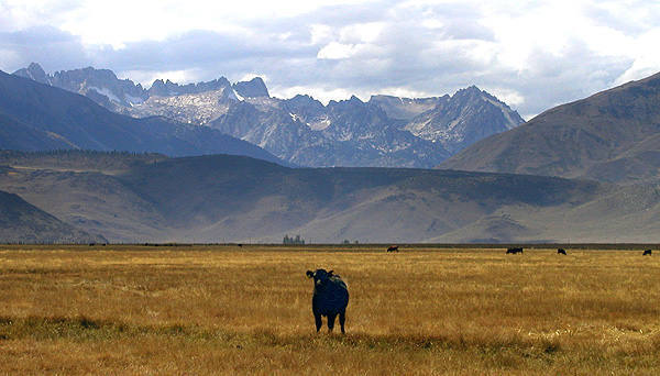 Sawtooth Ridge and cows.<br> Photo by Blitzo.