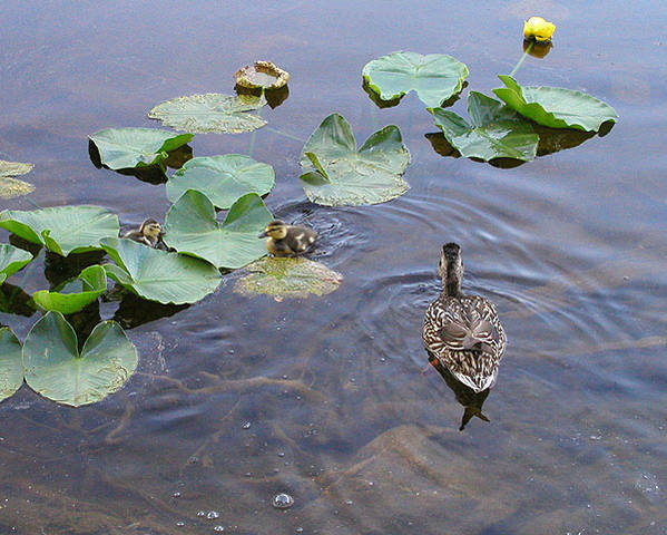 Ducks and water lilies.<br> Photo by Blitzo.