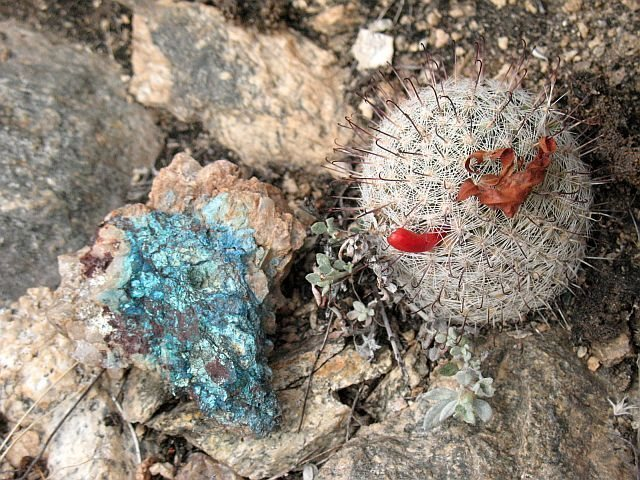 Chrysicolla and Fishhook Pincushion Cactus (Mammilaria grahamii), Mt. Lemmon