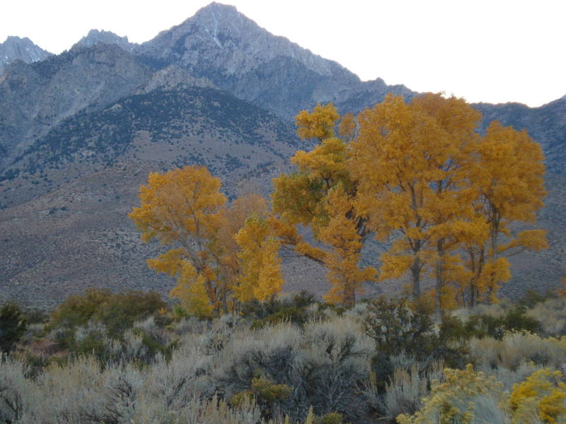 The leaves are turning on the way up to Onion Valley, Eastern Sierras.