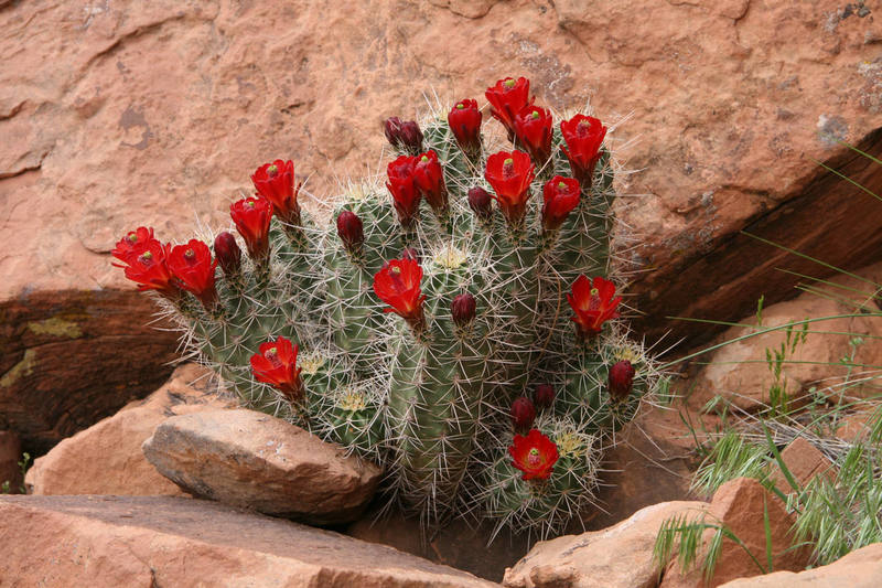 Cactus in Bloom<br> Base of Ice Cream Parlor<br> April, 2007