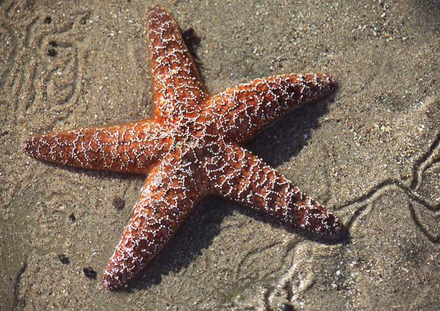 Starfish.<br> Photo by Blitzo.