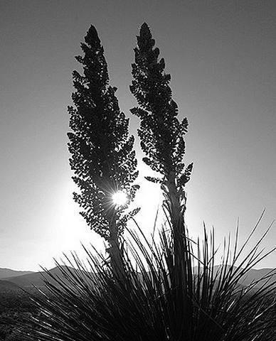 Giant Nolina.<br> Photo by Blitzo.