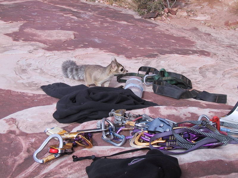 Watch out for ringtails at Red Rocks!!