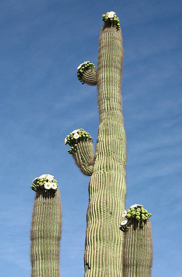 Saguaro in bloom-AZ state flower.<br> Photo by Blitzo.
