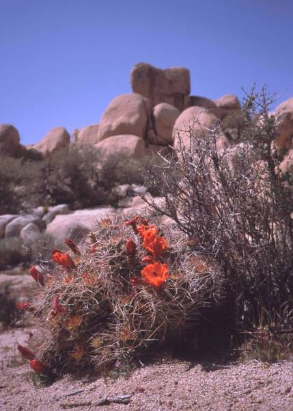 A Claret Cup cactus blooms in the Real Hidden Valley. 'The Wart' looms in the background. Photo by Tony Bubb, 4/2000.
