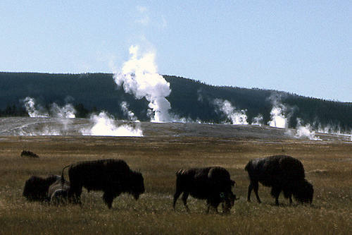 Grazers and geysers.<br> Photo by Blitzo.
