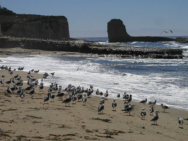 California gulls-the State Bird of Utah.<br> Photo by Blitzo.