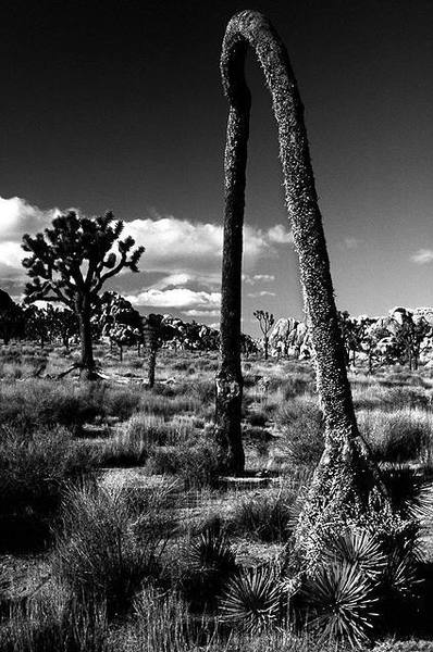 Joshua Tree Arch.<br> Photo by Blitzo.