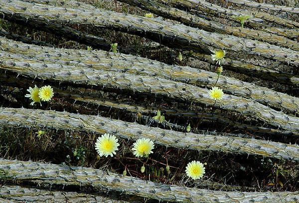Fallen ocotillo and  desert dandelion-Pinto Basin.<br> Photo by Blitzo.