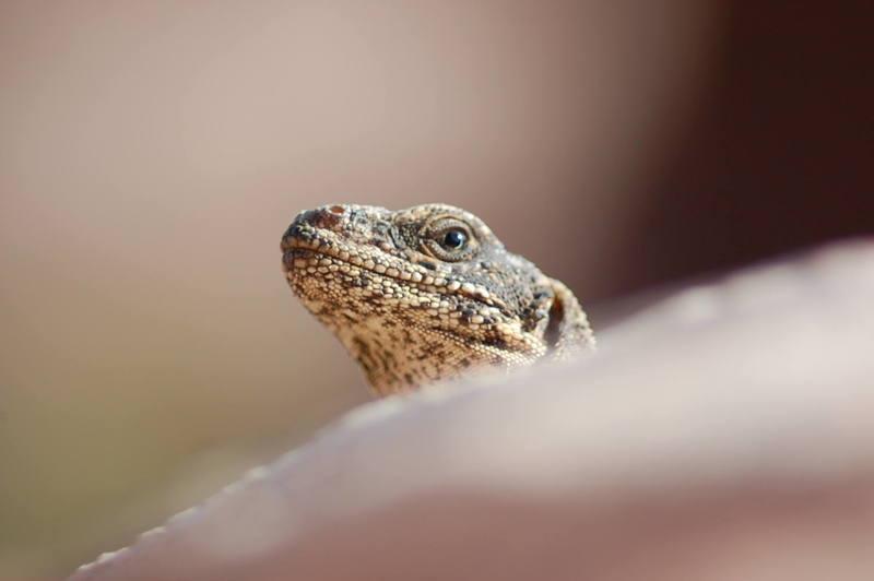 Chuckwalla Lizard
