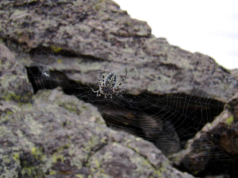 A ferocious Hallet's Peak spider. June 2007.