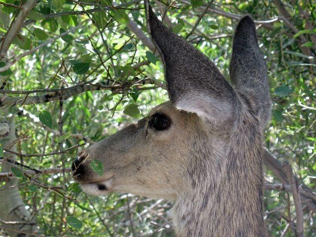 Mule deer and aspens, Convict Lake