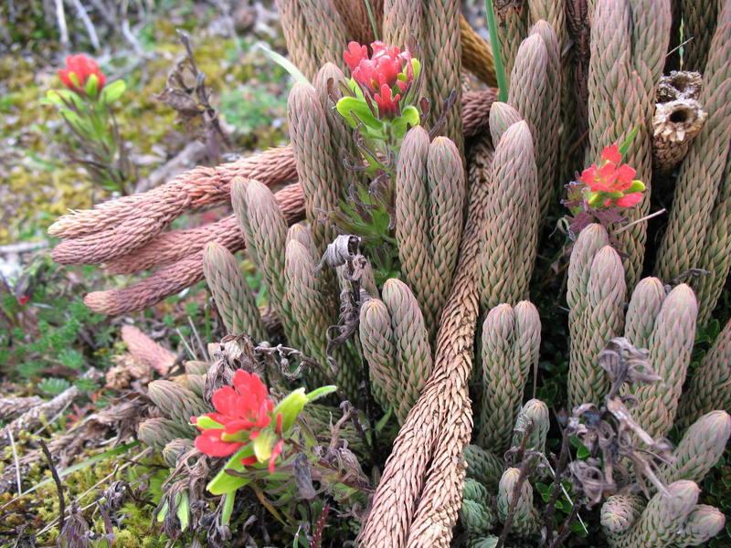 Paramo plants on Ruminahui.