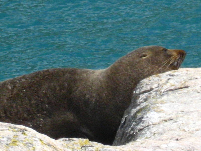The local marine mammals seemed to enjoy the sun as much as we did on the Abel Tasman Coast Track.  This fella weighed at least 300lbs and we ate lunch right next to him (fortunately he wasn't hungry).