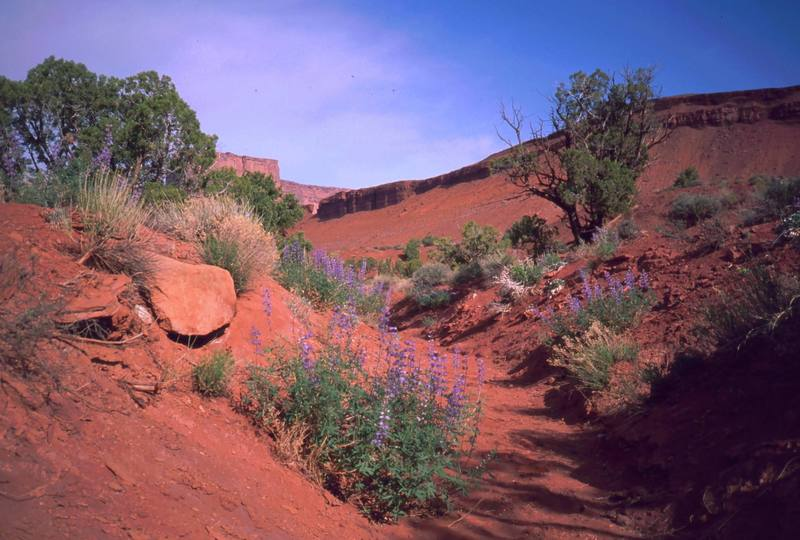 The low areas and dry washes in Castle Valley can be filled with spring flowers on wet years. Photo by Tony Bubb, 1998(?).