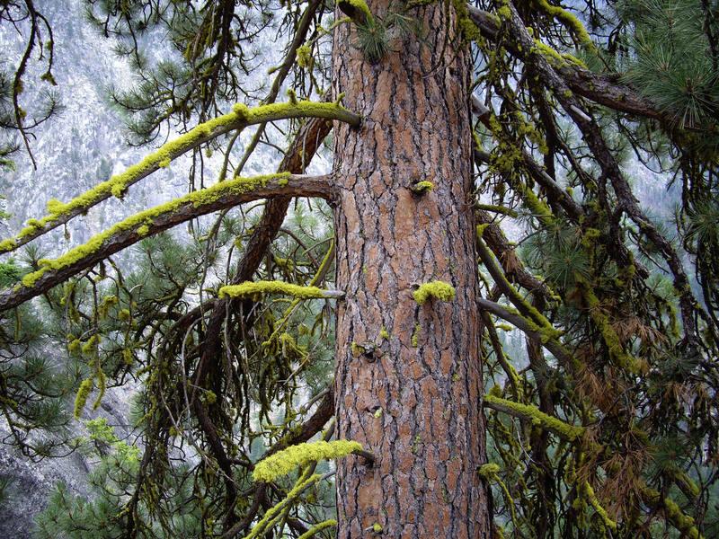 Mossy pine tree on top of Snow Creek Wall.