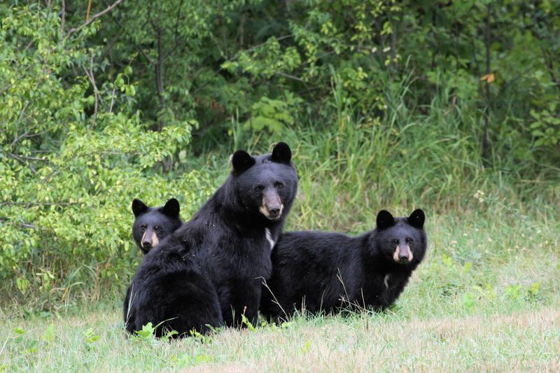 Black Bears  Location: Boulder Colorado  Photo taken by Austin Porzak