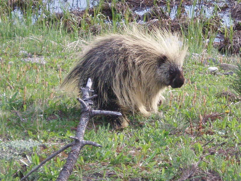 RMNP Porcupine