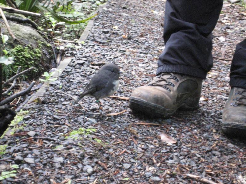 And these tiny Stewart Island Robins followed us everywhere we went (they litterally foraged for food in our footsteps).