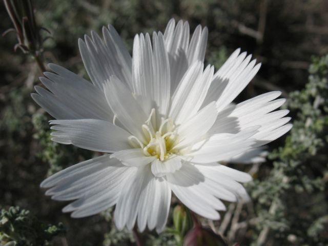 California Chicory (Rafinesquia californica), Joshua Tree NP