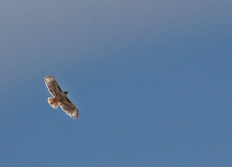 Red-tail Hawk, Buttermilks